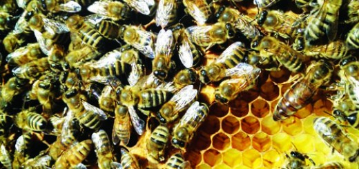 A queen bee, workers and beeswax comb | Photo courtesy of Will Pratt