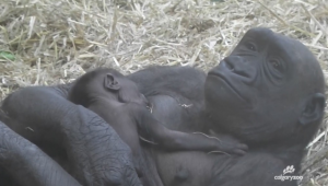 The gender of the new gorilla baby at The Calgary Zoo remains unknown until parents become less protective | Photo courtesy of thecalgaryzoo.com